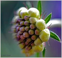 Scabbiosa Mariposa Blué (magritknapp) Tags: makro pflanze sacbbiosamariposabluè