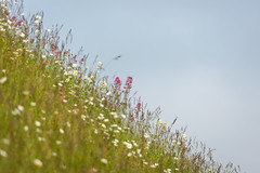 Hillside (Future-Echoes) Tags: 4star 2018 bokeh depthoffield dof dover dovercastle flowers grass hillside kent nature england unitedkingdom gb