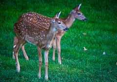 spots (ttounces) Tags: backyard sisters deer jaunt exploration ttounces ~jan~ curious spots surriptitious spotted magicpeacock