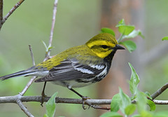 Black-throated Green Warbler (Digital Plume Hunter) Tags: