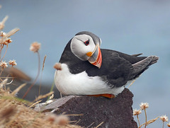 Puffin at Fowlsheugh (eric robb niven) Tags: ericrobbniven scotland puffins wildlife wildbird nature fowlsheugh springwatch
