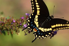 In Flight (Anton Shomali - Thank you for over 1 million views) Tags: flickr beauty beautiful colours colors closeup closeups macrophotography macro head wings flowers flying hungry in flight inflight black swallowtail butterfly searching for food nature
