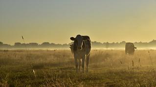 Kühe zu zählen; Bergenhusen, Stapelholm (33)