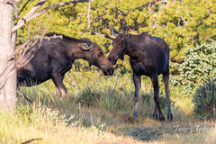 Young bull and cow Moose