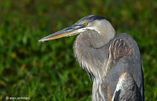 Great Blue Heron, Birds of the Circle B Bar Reserve