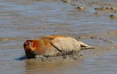 IMG_5830 cr (janharper) Tags: seals crouch roach estuaries leigh camera club