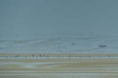 Stubble Snow (Bracus Triticum) Tags: stubble snow アルバータ州 alberta canada カナダ 12月 december winter 2017 平成29年 じゅうにがつ 十二月 jūnigatsu 師走 shiwasu priestsrun