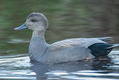 Gadwall (Anas strepera) (ekroc101) Tags: birds gadwall anasstrepera bc vancouver stanleypark