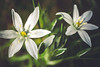 Ornithogalum umbellatum (Chloé +++) Tags: ornithogalum umbellatum flower fleur flowers fleurs spring springtime printemps nature forest forêt white green blanc vert blossom pétales plant plante vivace prairie feuilles leaves leaf pretty bloom outside eos canon macro proxi