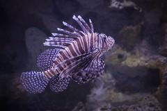 Lionfish (John P.C.) Tags: water stripe aquatic ocean sea nature marine aquarium newport fish lion