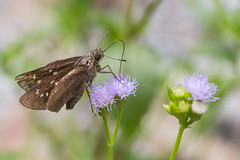 IMG_7196 (vlee1009) Tags: 2018 60d canon july nantou taiwan butterfly insects