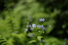 alpine Forget Me Not | Valley of Flowers (arnabchat) Tags: india uttarakhand arnabchat july2018 2018 monsoon trek trekking valleyofflowers valleyofflowersnationalpark unescoworldheritage nationalpark forest valley flowers himalayas mountains hills blossom canon canon6dmkii 35f14l forgetmenot myosotisalpestris