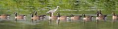 Contresens (pictopix) Tags: oiseaux héron cendré gris bec bernache canada groupe lumière rencontre meeting fish grey goose