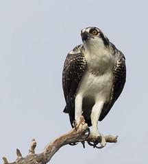Young Osprey (Elizabeth Wildlife) Tags: osprey florida fl blue cypress lake