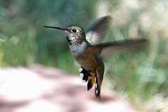 Cute Hummingbird (Anna Gurule) Tags: hummingbirds annagurule annaortizgurule animals canon santafenm eldoradoatsantafenm artedgy