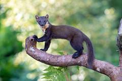 Pine Marten (Chas Moonie-Wild Photography) Tags: pine marten martes scotland ngc