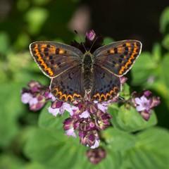 Ƹ̵̡Ӝ̵̨̄Ʒ (cнαт-ɴoιr^^) Tags: 20180702imgp0242 fauna insekt insects schmetterlinge butterfly papillon farfalla oreganum