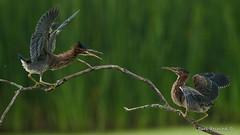 A minor disupute (Earl Reinink) Tags: bird animal nature outdoors flying wildlife earl reinink earlreinink heron squabble fight perch wings branch tree ododtdzdza summer outside