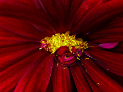 A Heart of Gold (Steve Taylor (Photography)) Tags: gold red yellow contrast newzealand nz southisland canterbury christchurch northnewbrighton flower petals dahlia