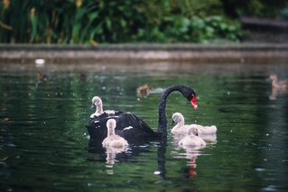 Black Swan / Hambourg 1985   Sonnar 180mm F 2.8