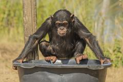 Chimpansee - Safaripark Beekse Bergen - Hilvarenbeek (Jan de Neijs Photography) Tags: dierentuin zoo tamron tamron150600 150600 dierenpark nl holland thenetherlands dieniederlande diergaarde g2 animal dier beeksebergen safaripark safariparkbeeksebergen hilvarenbeek chimpansee aap ape noordbrabant sbb
