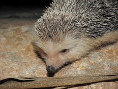 Algerian Hedgehog (Atelerix algirus) (Nick Dobbs) Tags: algerian hedgehog atelerix algirus erinaceidae malta mammal north african