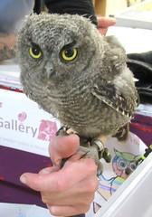 Western screech owl (billnbenj) Tags: barrow cumbria owl raptor birdofprey snowyowl westernscreechowl