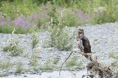 juv bald eagle Kenai river hd dm (chjsbny) Tags: baldeagle haliaeetusleucocephalus juvenile kenairiver fireweed chamaenerionangustifolium alaska summer charlesjanson digimarc