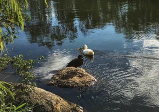 Ducks at Forest Lake, Brisbane