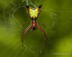 Spiny Micrathena (strjustin) Tags: spinedmicrathena orbweaver spider arachnid insect bug macro beautiful