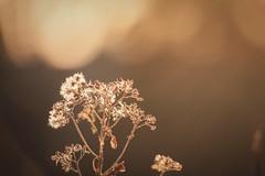 Golden Hour (emptysoundofhate) Tags: channahon illinois sunset sunrise bokeh blur focus beige tan nature winter dead foliage weed plant canon forest woods