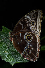Blue morpho on leaf (PChamaeleoMH) Tags: bluemorpho bluemorphobutterfly butterflies flash horniman insects macro
