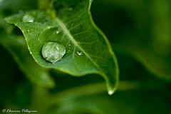 Rain on the leaf (norah.pellegrino) Tags: wet rain macro nikon sigma105mm leaf