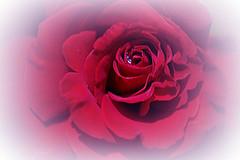 "... (mariola aga OFF) Tags: garden flower rose red lensbaby velvet85f18 manual art floralfantasy ""doublefantasy coth alittlebeauty coth5 thegalaxy"
