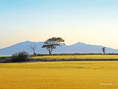 Arran and Trees (g crawford) Tags: westkilbride ayrshire northayrshire tree trees field farm crop cereal summer sun farming arable arran clyde firthofclyde riverclyde mountains hills yellow gold golden
