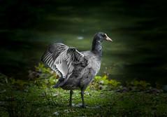 Junior (Sakerfalke) Tags: sakerfalkefotografie blässhuhn juvenil natur outdoor oberhausen bird vogel