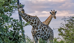 SOUTHERN GIRAFFE: MOTHER & CHILD (John C. Bruckman @ Innereye Photography) Tags: botswana okavangodelta southerngiraffe giraffe breedinghabits childrearing mothers birthing pregnancy standing walking running coth5