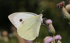 Large White (Pieris brassicae) 090718 (3) (Richard Collier - Wildlife and Travel Photography) Tags: insects wildlife nature naturalhistory british britishinsect butterflies largewhite