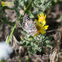 Common checkered skipper (ironekilz) Tags: chatfieldstatepark