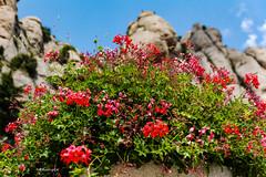 Enfocament Selectiu - Montserrat (rossendgricasas) Tags: enfocament enfoque dof photo montserrat flowers colorimage noperson blue sky red photoshop nikon catalonia tamron