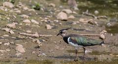 9Q6A1688 (2) (Alinbidford) Tags: alancurtis alinbidford brandonmarsh lapwing nature wildbirds