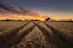 Grainfield sunset (Alex Riemslag) Tags: netherlands landscape sunset leadinglines colorful goldenhour amazing noordbrabant canoneos6d ef1635mmf4lisusm grainfield europe