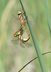 A Long Way from Norfolk...  Norfolk Hawkers (Anaciaeschna isoceles) mating (willjatkins) Tags: wildlife insect nature animal animals insects dragonfly dragonflies odonata dragonfliesanddamselflies norfolkhawker hawkers hawkerdragonflies aeshna aeshnaisosceles anaciaeschna anaciaeschnaisoceles isoceles greeneyedhawker wildlifeofeurope europeanwildlife insectsofeurope europeaninsects odonataofeurope europeanodonata dragonfliesofeurope europeandragonflies matingdragonflies dragonfliesmating incop dragonfliesincop croatia croatianwildlife croatianodonata odonataofcroatia croatiandragonfly croatiandragonflies dragonfliesofcroatia macro macrowildlife closeup closeupwildlife nikon nikond610 sigma105mm