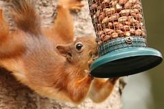 (wolfskin17) Tags: 80d canon wildlife scotland mammal nature squirrel redsquirrel