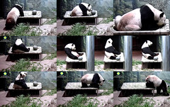 Tian (I'm still unsure what I'm expected to do on this thing after I eat...gaze at my navel? lick my lips? scratch an itch? stare at the wall? Can you give me a hint? If not, I'll get down now and figure it out later.) 2018-08-12 at 18.10.00–.16.57 PM (MyFoto:)) Tags: ccncby panda endangered vulnerable tiantian smithsonian nationalzoo climbing eating licking scratching biscuit hammock