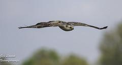 Buizerd ButeoButeo Buzzard (gijs leusink1) Tags: buizerd buteobuteo buzzard birds vogels roofvogels nikonnaturephotography gijsleusink nikond500 nikon d500 natuur natuurfotografie genemuiden cellemuiden