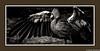 The Spread (Robert Streithorst) Tags: bird cincinnatizoo crane mono robertstreithorst zoosofnorthamerica