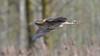 Bittern (image 1 of 2) (Full Moon Images) Tags: rspb lakenheath nature reserve bird flight flying bittern