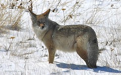 Coyote (Katy on the Tundra) Tags: coyote canada