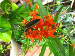 Insect On Milkweed Flowers <<>> IMG_0609 - Version 2 (Chic Bee) Tags: botany anatomy flower structure detailed milkweed insect beetle macro tucson arizona usa america americansouthwest southwesternusa